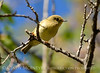 Ruby-crowned kinglet, DINO CO (5)