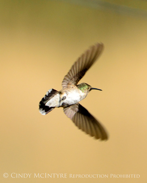 Black-chinned hummingbird female, DINO CO (1)