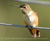 Rufous hummingbird immature, DINO CO (8)