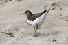 Spotted Sandpiper, Echo Park, DINO CO (3)