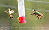 Rufous hummingbird immature, DINO CO (10)
