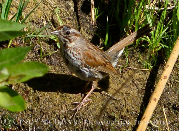 Song Sparrow, Josies, DINO UT