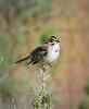 Lark Sparrow, DINO UT