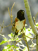 Spotted towhee male, DINO UT (6)