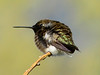 Black-chinned hummingbird male, DINO (9)