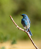 Mountain bluebird male, DINO CO (2)
