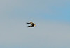White-throated swift, DINO CO (3)