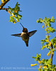 Black-chinned hummingbird male, DINO (6)