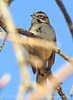Lark Sparrow, DINO CO (2)