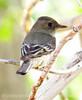 Gray Flycatcher, DINO CO (4)