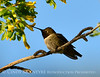 Black-chinned hummingbird male, DINO (2)