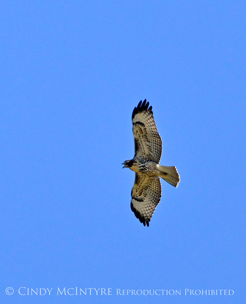 Red-tailed hawk juvenile, DINO CO