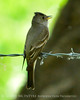 Gray flycatcher, DINO UT (3)