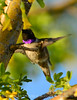 Black-chinned hummingbird male, DINO (3)