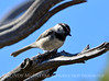 Mountain chickadee, DINO CO 3