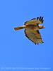 Red-tailed hawk in flight, DINO CO (2)