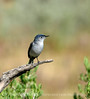 Blue-gray gnatcatcher, DINO UT (2)