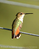 Rufous hummingbird immature, DINO CO (13)