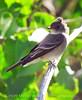 Gray Flycatcher, DINO CO (3)
