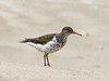 Spotted sandpiper, Echo Park, DINO CO (6)