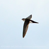 White-throated swift, DINO CO (5)
