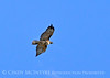 Red-tailed hawk, DINO CO