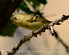 Ruby-crowned kinglet, DINO CO (2)