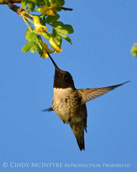 Black-chinned hummingbird male, DINO (5)
