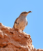 Rock Wren with bug, DINO UT