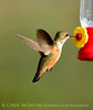 Rufous hummingbird immature, DINO CO (4)