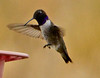Male black-chinned hummer, DINO CO