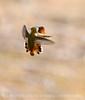 Adult and juvenile rufous hummingbird doing battle, DINO CO (5)