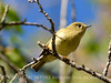 Ruby-crowned kinglet, DINO CO (4)
