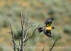 Black-headed grosbeak, DINO CO