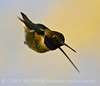 Black-chinned hummingbird male, DINO (7)
