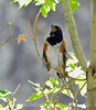 Spotted towhee male, DINO UT (3)