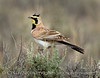 Horned Lark male, CO (3)
