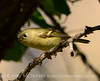 Ruby-crowned kinglet, DINO CO (1)