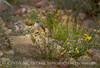 Rock Wren juvenile in flowers, DINO CO (2)