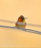 Male Rufous Hummingbird, DINO CO (6)