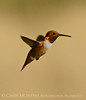Rufous Hummingbird male, DINO CO (2)