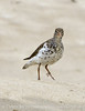 Spotted sandpiper, Echo Park, DINO CO (7)