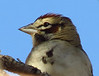 Lark Sparrow closeup, DINO CO
