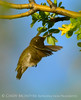 Black-chinned hummingbird male, DINO CO