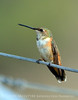 Rufous hummingbird immature, DINO CO (12)