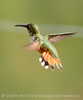 Rufous hummingbird immature, DINO CO (1)