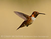 Rufous Hummingbird male, DINO CO (1)