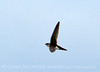White-throated swift, DINO CO (6)