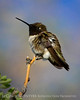 Black-chinned hummingbird male, DINO CO (1)