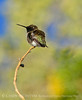 Black-chinned hummingbird male, DINO (8)